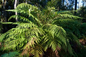 New Zealand Tree fern, Hokitika, West Coast New Zealand