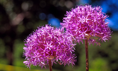 Attractive purple persian onion flower in spring. Allium Cristophii, Persian onion or Star of Persia. Elegant violet flowers in blooming season.