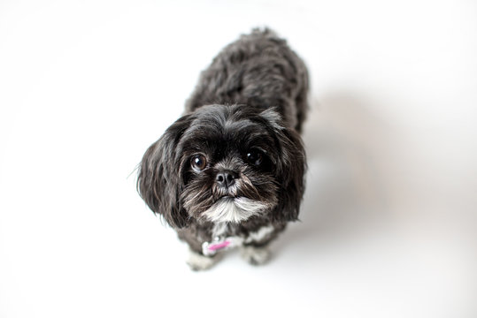 Adorable miniature shih tzu puppy dog, white and black with short fur