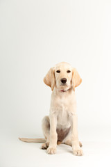 Yellow lab puppy in studio