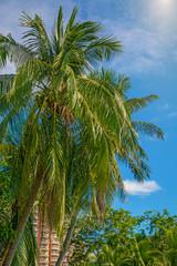 many beautiful high Palm trees grow near, aleya palms, tropical island and beautiful trees grow to the sky. Asia