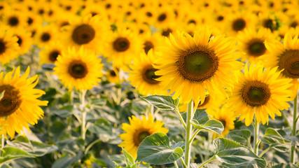 Close up full bloom sunflower blossom, natural landscape background