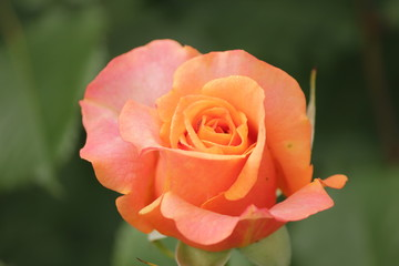 Rose type named La Villa Cotta in close-Up isolated from a rosarium in Boskoop the Netherlands