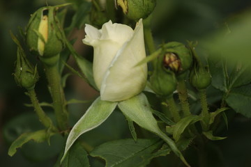 Rose type named Liesbeth Canneman in close-Up isolated from a rosarium in Boskoop the Netherlands