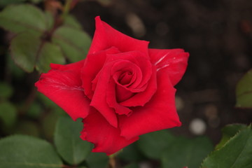 Red Rose type named pride of England in close-Up isolated from a rosarium in Boskoop the Netherlands