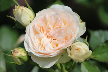 Rose type named pastella in close-Up isolated from a rosarium in Boskoop the Netherlands