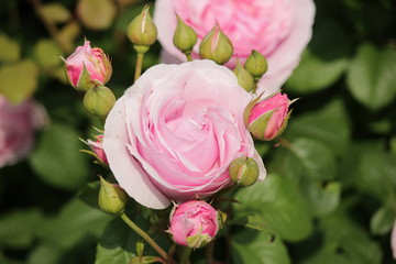 Rose type named Princesse Claire in close-Up from a rosarium in Boskoop the Netherlands