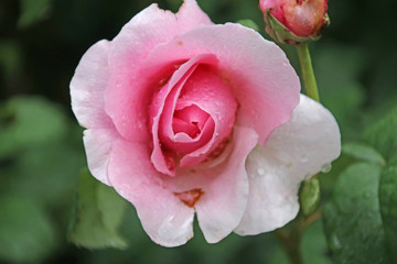Rose type named Princesse Claire in close-Up from a rosarium in Boskoop the Netherlands with rain drops