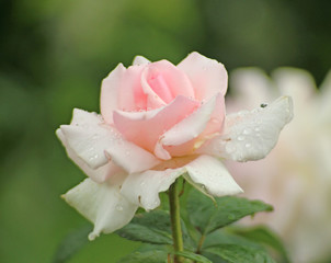 Rose type named White Shade of Pale in close-Up  from a rosarium in Boskoop the Netherlands with Rain drops