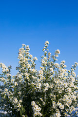Spring small white flowers on the blue sky background