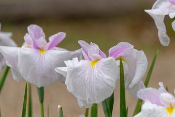 Auspicious flowers.Acorus calamus