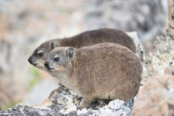 Closeup of  two fluffy dassies on the beach in Hermanus in South Africa