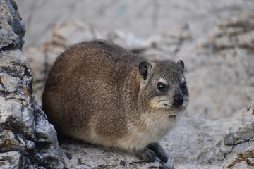 Closeup of a fluffy dassie on the beach in Hermanus in South Africa