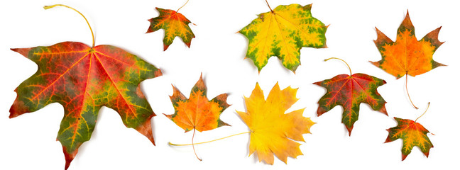 banner autumn pattern maple leaf bright on white background Fotoväggar