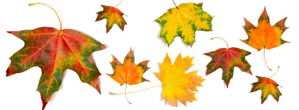 banner autumn pattern maple leaf bright on white background