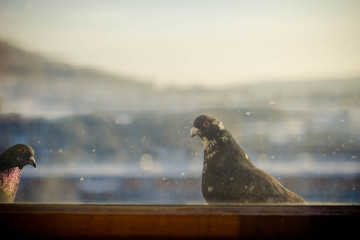 pigeons in the window