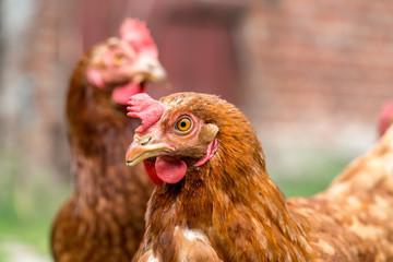 Brown chicken on a farm