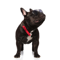 cool french bulldog wearing red bowtie looks up to side