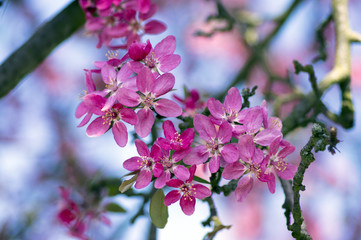 Malus royalty, ornamental apple tree, springtime, purple pink flowers on branches