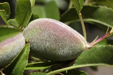Almonds on a tree