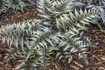 silver leaf fern
