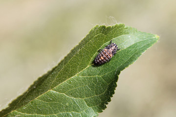 Larva of Two-spot ladybird or Adalia bipunctata on green leaf