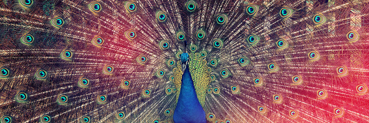 Papiers peints Paon image of beautiful male peacock opening his tail, outdoors.