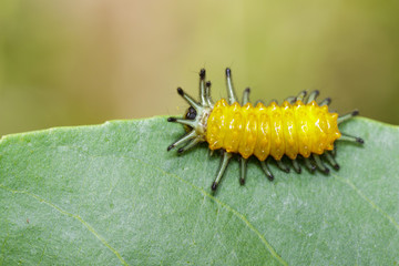 Image of an amber caterpillar on green leaf. Insect. Animal.