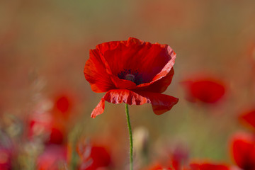 Zelfklevend Fotobehang Klaprozen Poppy flower or papaver rhoeas poppy with the light