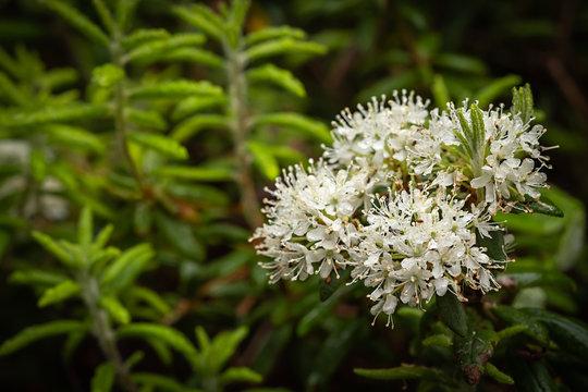 Rhododendron tomentosum Ledum palustre Sumpfporst in Blüte