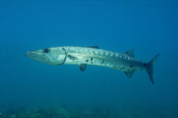 Great Barracuda, Sphyraena barracuda, Tobacco Cay Belize.