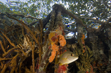 Snappers, Lutjanus apadus, under colorful  mangrove roots, Tobacco Cay Belize.