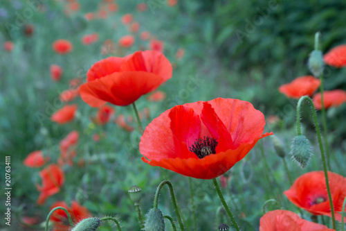 Wild Poppy Flowers Stock Photo And Royalty Free Images On Fotolia