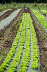 closeup of salad alignment in a field