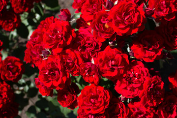 Beautiful red rose flower blossom in the garden