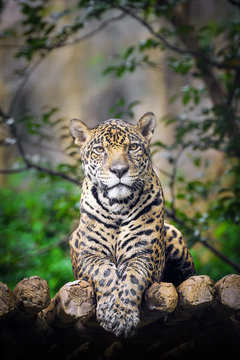 Behavior of Jaguar.