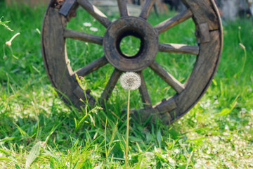 dandelion and old wooden wheel