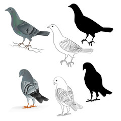 Pigeons Carriers  domestic breeds sports birds natural and outline and silhouette vintage  set set three vector  animals illustration for design editable hand draw