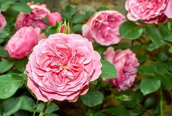 pink rose flowers over antique handwritten letter. romantic vintage background. selective focus
