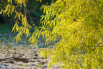 leaves draped over a pond