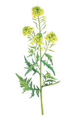 Branch with flowers of wild plant White mustard (also called Sinapis alba, Barbarea). Watercolor hand drawn painting illustration isolated on a white background.
