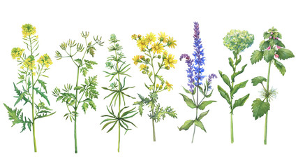 Set with wild plant (sage, mustard, red dead-nettle, ragwort, clivers, hemlock, clover). Watercolor hand drawn painting illustration isolated on a white background.