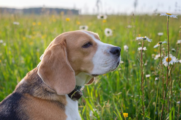 Dog Beagle on a walk in the summer on a green meadow