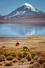 Alpaca (Vicugna pacos) grazing on the shore of Lake Chungara, in the background the Sajama volcano, in northern Chile.