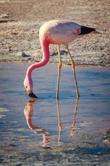 Flamingo feeding on lake Chaxa, in the Atacama salt flats, in the province of El Loa, Chile