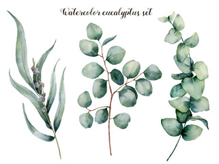 Watercolor eucalyptus realistic set. Hand painted baby, seeded and silver dollar eucalyptus branch isolated on white background. Floral illustration for design, print, fabric or background.