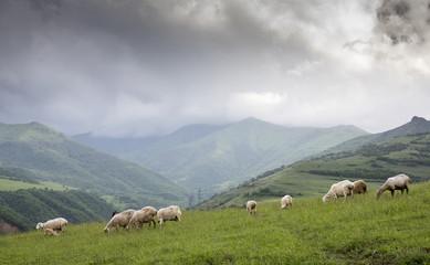 sheep in rural Armenia