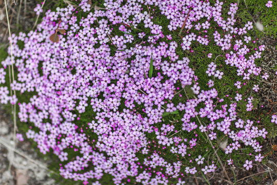 Bed of hybrid phlox in shades of violet and magenta, flourishing as dense ground cover in spring, for background or decoration with motifs of profusion