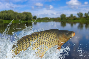 Fishing. Big carp fish jumping with splashing in water