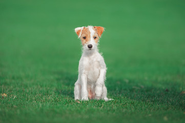 cute parson russel terrier puppy sitting on the green grass